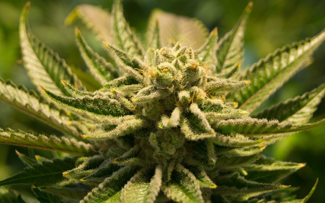 Pianta di marijuana: caratteristiche e benefici indotti dal suo utilizzo